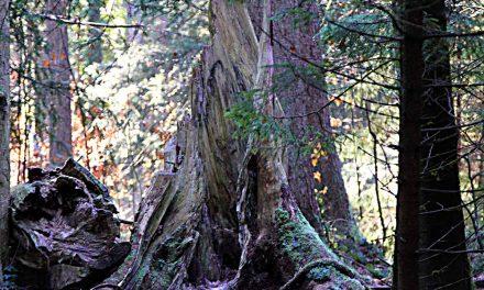 Unsere Wurzeln – Rauhnachtwanderung Eibenwald